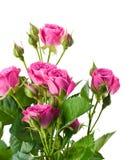 Roses sensibles Photo libre de droits