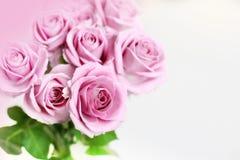 Roses sensibles images libres de droits