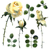 Roses set. Flowers illustration.. Royalty Free Stock Photo
