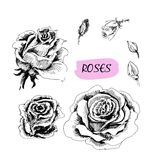 Roses. Set of illustrations Stock Photo