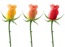 Roses set isolated on white. Vector 3D illustration Royalty Free Stock Photography