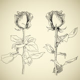 Roses, sketch Royalty Free Stock Photos