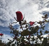 Roses sky royalty free stock image
