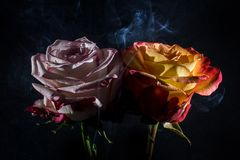 Roses with smoke over black. Smoke coming out from pink and orange rose in the dark Royalty Free Stock Photo
