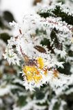 Roses in the Snow. Flowers in the winter royalty free stock image
