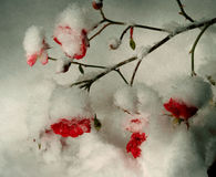 Roses in the snow Royalty Free Stock Image