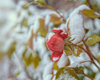 Roses in the snow. Beautiful roses covered with the first snow Royalty Free Stock Photos