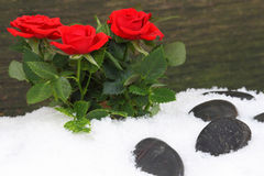 Roses in snow in front of wooden wall Stock Photo