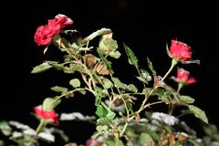 Roses in the snow at night Stock Images