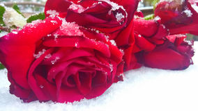 Roses in the Snow. Red roses laying on the snow Royalty Free Stock Image