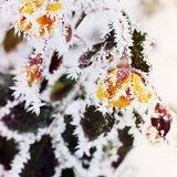 Roses in the Snow. Snow on the rose. stock photography