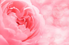 Roses in Soft Pastel Tone. Stock Image