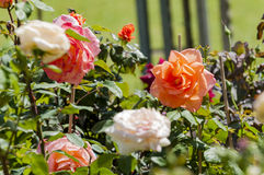 Roses. Some beautiful roses in garden Royalty Free Stock Photography