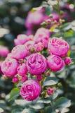 Roses sort Pomponella Stock Images