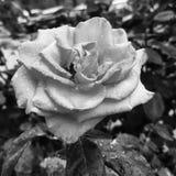 Roses sous une pluie photos libres de droits