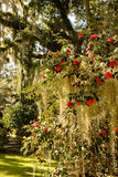 Roses on Spanish Moss Royalty Free Stock Images