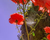 Roses and a spider web royalty free stock photo