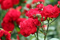 Roses spring scene Stock Image