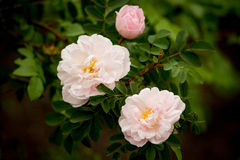 Roses - Stanwell Perpetual. White, easy pink, three Stanwell Perpetual roses Stock Photo