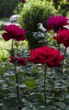 Roses in the summer garden royalty free stock images