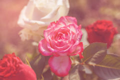 Roses with sun flare Stock Images
