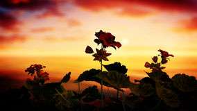 Roses In The Sunset Royalty Free Stock Photography