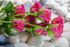 Roses sur des cailloux Photographie stock libre de droits