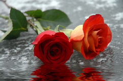 Roses sur l'eau Photo stock
