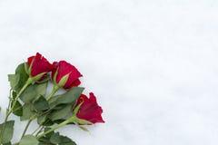 Roses sur la neige Photo stock