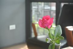 Roses roses sur la table, le concept de l'amour et coeurs sur Valen Photographie stock