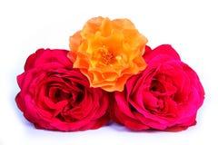 Roses sur le blanc. Photo libre de droits