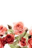 Roses sur le blanc Photographie stock libre de droits