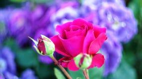 Roses sur le parterre de ville Photo stock
