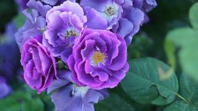 Roses sur le parterre de ville photographie stock libre de droits