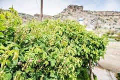 Roses sur le plateau de Saiq Photo libre de droits
