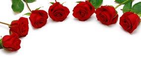 Roses sur un fond blanc. Images libres de droits