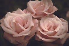 Roses roses sur un fond foncé, fleurs romantiques photos stock