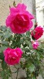 Roses tachetées de pluie Photographie stock