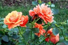 Roses. Taken in the rose garden of Leif Erickson Park in Duluth, Minnesota Stock Photography