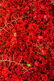 Roses and Thorns. Many red roses and big thorns Royalty Free Stock Photo