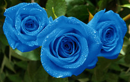 Roses three blue Stock Photo
