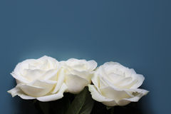 Roses. Three roses on blue background Royalty Free Stock Images