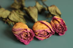 Roses. Three dry roses on a table Royalty Free Stock Image