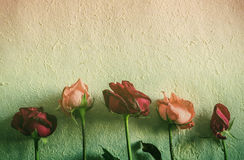 Roses to wither on the old wall. Royalty Free Stock Image