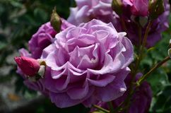 Roses ?tonnamment belles sur l'?le de Nessebar Bulgarie images libres de droits