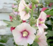 Roses trémière dans le jardin Images libres de droits