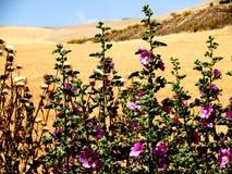 Roses trémière et champ de blé sec Photos stock