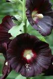 Roses trémière noires avec la poudre de pollen Photos libres de droits