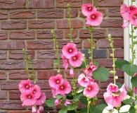 Roses trémière roses contre le mur de briques de rouge d'A Photo libre de droits