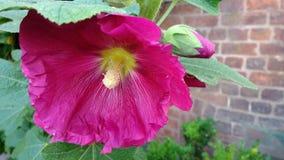 roses trémière roses de fuschia Images libres de droits